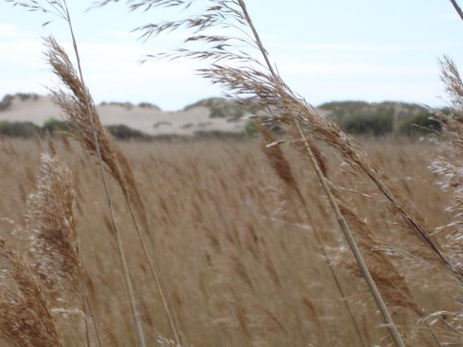 DSC09781 Reeds 2 Morfa Dyffryn sssi dunes karen perkins lifecoach sheffield
